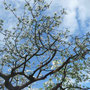 Der alte Grafensteinerapfelbaum mit Gnadenbrot