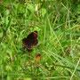 Schmetterlingswanderung auf einer Wiese in der Nähe