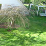 Der Hochzeitsbaum mit eingebuddelten Ramblerrosen.