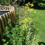 Am Rand vom Keyhole Garden blüht der Färber Waid, die Silbertaler, und bald das Büschelschön.