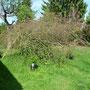Der kaputte Zierapfel: gestern haben wir im Europa Rosarium Sangerhausen vier ungefüllte Ramplerrosen gekauft.