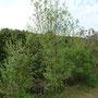 Der Faulbaum gefällt mir von der Höhe nicht mehr, da werde ich wohl ein bisschen nachbessern.