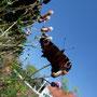 Ein kaputtes Tagpfauenauge - aber fliegt doch noch