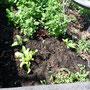 Der Salat ist auch gut im Saft. Toitoitoi: dieses Jahr sind bisher wenig Schnecken unterwegs.
