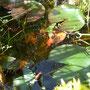 Auf dem Foto ist ein Molch versteckt. Im Wasser.