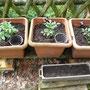 Tomatenpflanzen, vorne im Kasten habe ich Radieschen gesät (alter Samen, entweder es wird oder es wird nicht).