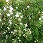 Wildrosen - die haben richtig gut gerochen!