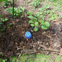 Die Kürbispflanze.