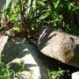 Jetzt fangen die Eidechsensuchbilder an. (Zauneidechse männlich).