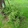 Ramblerrose Lükkefund am alten Apfelbaum. Alternative am Hochzeitsbaum?