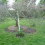 Und noch mal der Hochzeitsbaum mit den vier Ramblerrosen.