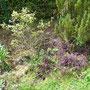 Der Heidelbeerstrauch kümmert: nur eine sichtbare Blüte. Im Frühjahr hat auch Regen gefehlt.