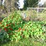 Die Kapuzinerkresse blüht noch so schön, dazwischen sind Kartoffeln versteckt, die ich noch nicht ausbuddeln kann...
