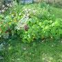 Die Kapuzinerkresse blüht noch so schön, dazwischen sind Kartoffeln versteckt, die ich noch nicht ausbuddeln kann... Blattläuse waren übrigens nicht an der Kapuzinerkresse dran.