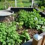 Auch die Zucchini wächst ordentlich los.
