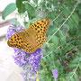 Ein Kaisermantel! Anfang Juli 2017. Beim Schmetterlingsflieder lauert immer eine Horde Spatzen. Der Flieder ist ihre Schnellimbissbude. Es gibt dort viele Falter mit kaputten Flügeln.
