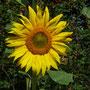 Rapskäfer, Sonnenblume und Sauerkirschen