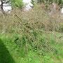 Der trockene Hochzeitsbaum - ich könnte heulen. Wühlmaus?