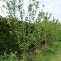 Obstbäume - vielleicht passe ich sie in der Höhe an. Die Koniferenhecke vom Nachbarn ist eine Wand geworden. Meine wilde Hecke finde ich besser.
