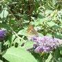 Ein Kaisermantel! Bei mir im Garten! Toll!