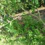 Lupinen sind aufgetaucht, noch nicht mal mit Schneckenproblem.