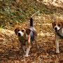 zwei Beagle´s im Herbstwald