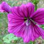 Garten-Malve  (Malva mauritiana)