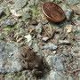 Noch so klein und schon unterwegs - eine Erdkröte