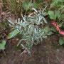 Sumpf-Ruhrkraut (Gnaphalium uliginosum)