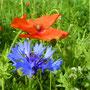 Zwei die zusammengehören: Klatschmohn und Kornblume