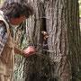 Gallenröhrling im Baumversteck (nur nicht mit Steinpilz  verwechseln!)