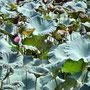 Lotus dans le jardin du temple de la littérature, à Hanoï