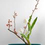 R. Tabuki: Zierquitten, Tulpen