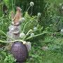 B. Karsch: Allium, Zwiebeln