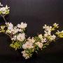 H. Lanz: Strauchpaeonie, japanischer Blumenhartriegel