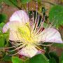 Fleur de Câprier