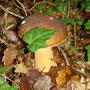Cèpe timide qui se cache sous le lierre