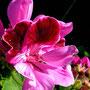 Pelargonium 1