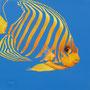 Poisson Ange - Acrylique sur bois - Polyptique - 50 x 50 cm <br><br>Peinture . peintre animalier . artiste peintre . peinture animalière . animal . peinture bicolore