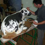 Veau Vosgien - Taille échelle 1 - Imitation de la Robe race Vosgienne - Acrylique - 2013<br><br>sculpture animalière . sculpture veau . veau race vosgienne