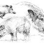Le Sanglier - Image d'Epinal - 32,5 x 25 cm <br><br>Dessin animalier . peintre animalier . artiste peintre . animal . dessin crayon . crayon noir . planche animalière . étude animalière