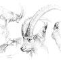 Le Bouquetin - Image d'Epinal - 32,5 x 25 cm <br><br>Dessin animalier . peintre animalier . artiste peintre . animal . dessin crayon . crayon noir . planche animalière . étude animalière