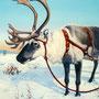 Au pays du Père Noël - Décor Laponie pour Magasin expo cheminée Tulikiwi Hervé GEHIN Remiremont (88) - Acrylique sur panneau - 1,80 x 1,30 m - 2007<br><br>fresque . trompe l'oeil . renne . noël . traineau