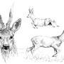 Le Chevreuil - Image d'Epinal - 32,5 x 25 cm  <br><br>Dessin animalier . peintre animalier . artiste peintre . animal . dessin crayon . crayon noir . planche animalière . étude animalière