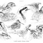 La Caille, Perdrix, Bécasse et Faisan - Image d'Epinal - 32,5 x 25 cm