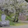 亀ヶ城址の桜