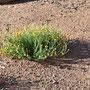 Uluru vegetation