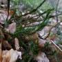 grote wolfsklauw - Lycopodium clavatum?