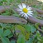 hazelworm (Anguis fragilis)