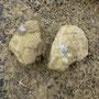 Gryphaea arcuata uit het Lias (Onderjura)